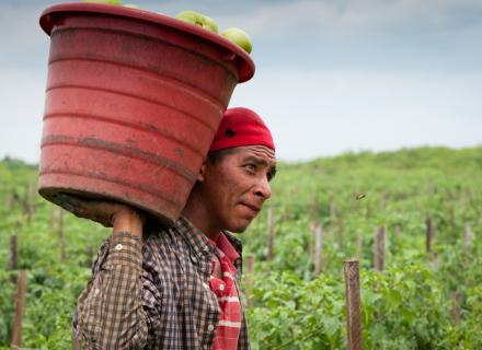 Trabajador agrícola carga producto cosechado en un balde a sus espaldas